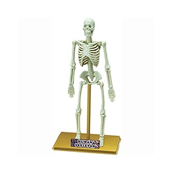 Купить Скелет ЧЕЛОВЕКА